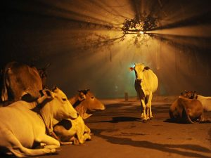cows-india-diwali_48268_600x450