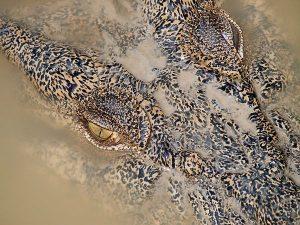 crocodile-queensland-australia_55576_600x450