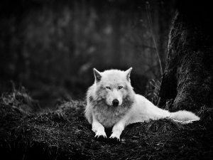gray-wolf-sanctuary_47913_600x450