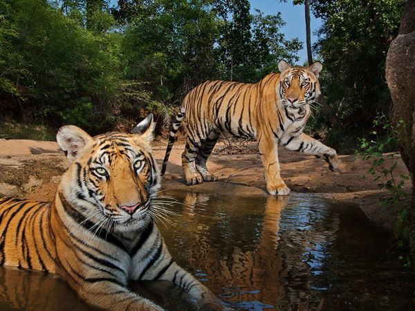 tigers-watering-hole-winter_47917_600x450