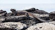 Iguana marina (Amblyrhynchus cristatus), Las Bachas, isla Santa Cruz, islas Galápagos, Ecuador, 2015-07-23, DD 23.jpg