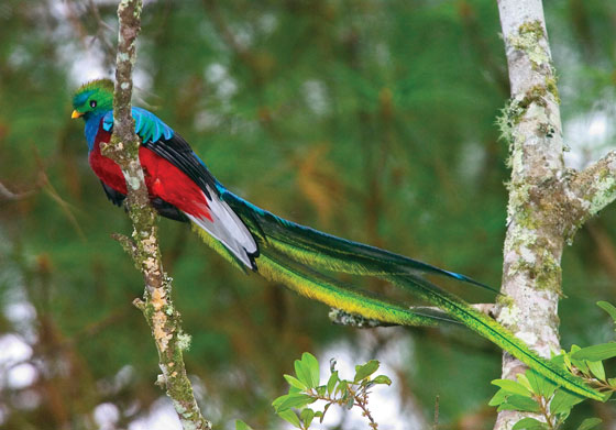 guatemalan quetzal bird