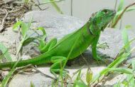 Iguana facts – are iguanas aggressive?