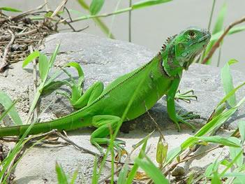 are iguanas aggressive?