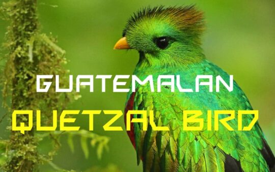 7 amazing facts about the guatemalan quetzal bird