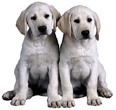 Dogs Cloned