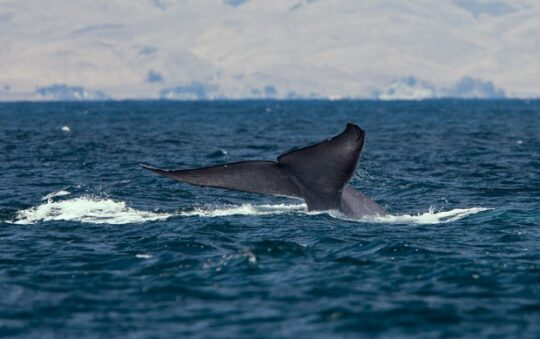 Blue Whales in Iceland