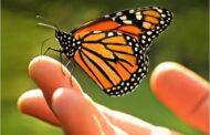 Monarch butterflies spectacular nature