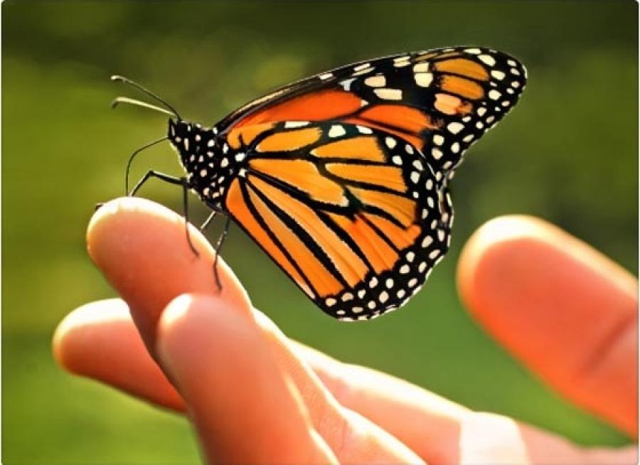 mariposa-monarca-mexico3