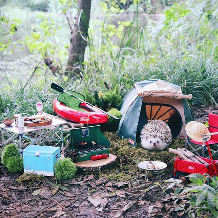 Tiny Hedgehog Goes Camping and do Cuteness Overload For Sure 2