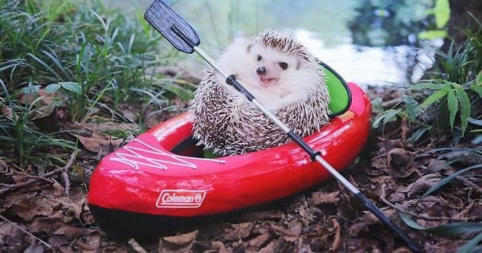 Tiny Hedgehog Goes Camping and do Cuteness Overload For Sure 1