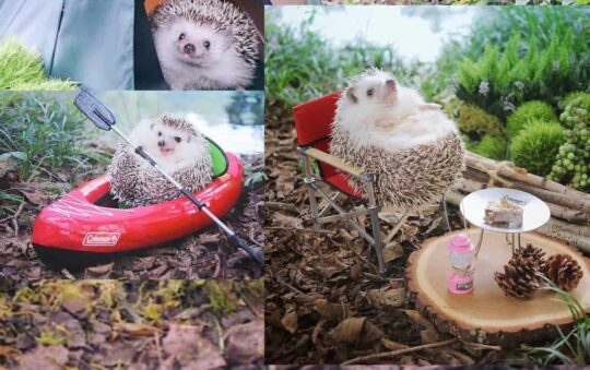 Tiny Hedgehog Goes Camping and do Cuteness Overload For Sure