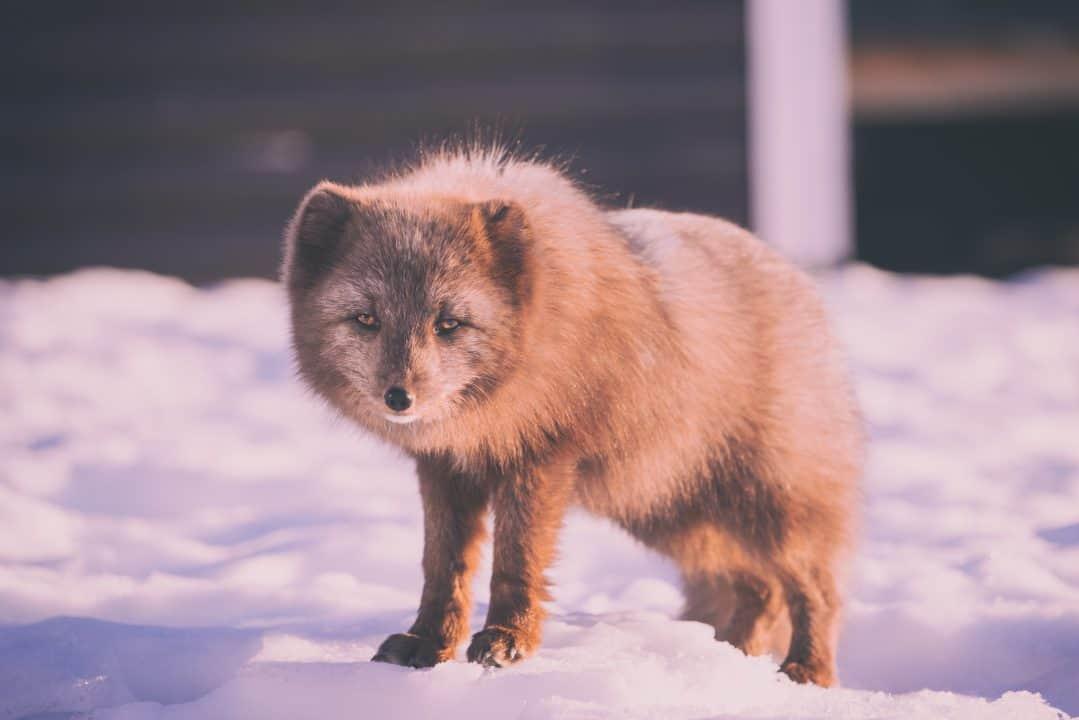 The Unique characteristics of Desert Fox  Q&A 1