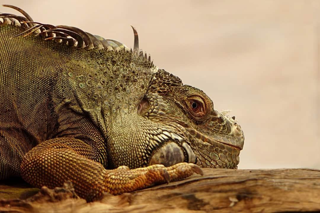 Iguana facts - are iguanas aggressive? 8