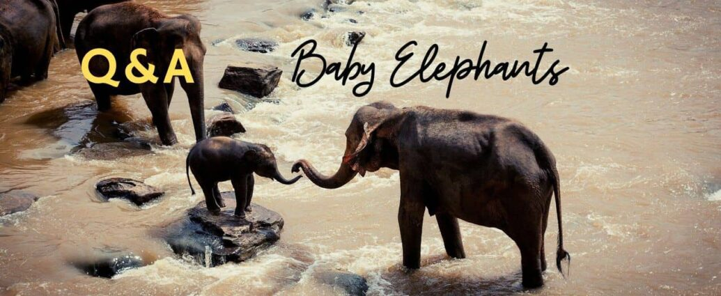 baby elephants facts for animal fans
