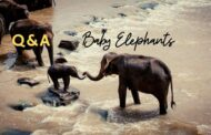 7 amazing baby elephants facts that will shock you
