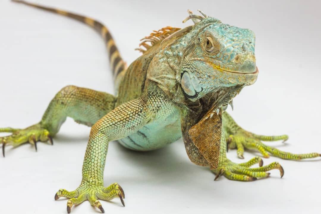 Iguana facts - are iguanas aggressive? 7