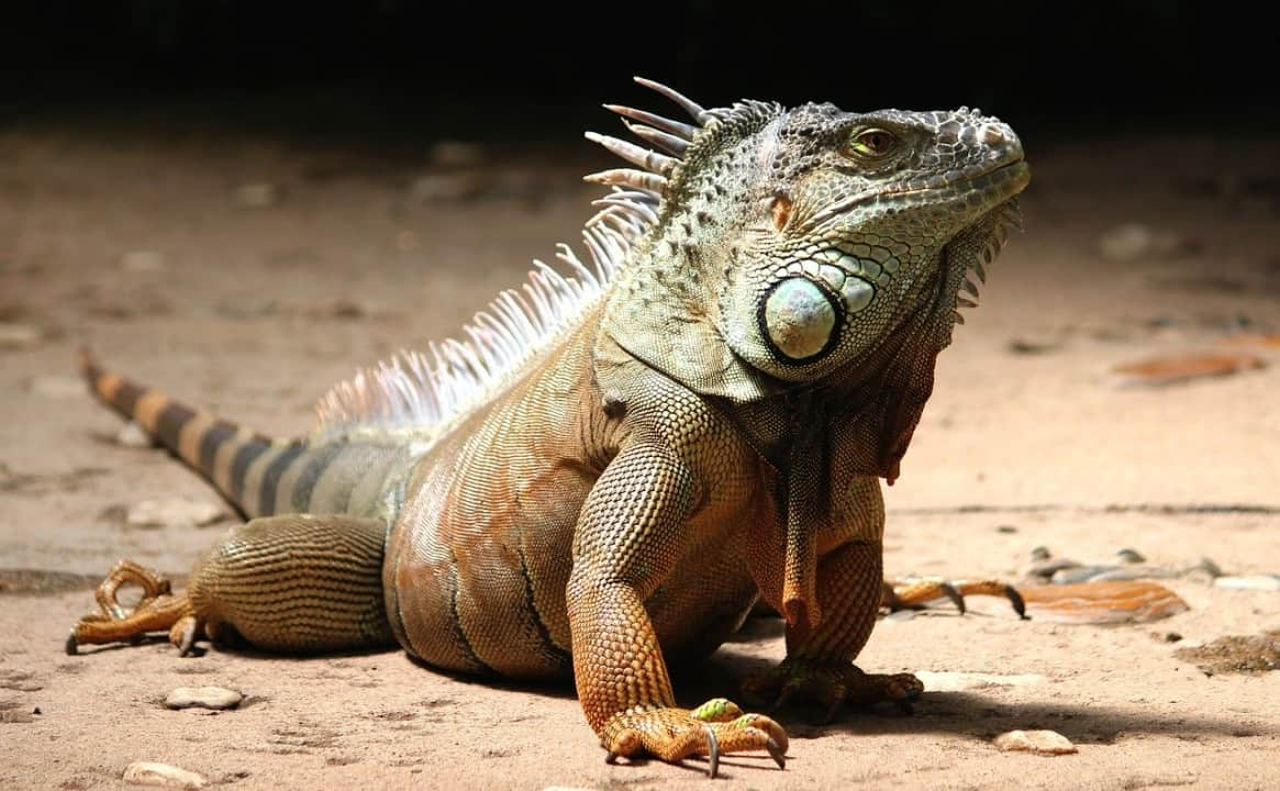 Iguana facts - are iguanas aggressive? 5