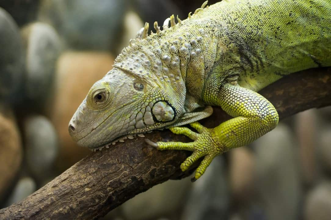 Iguana facts - are iguanas aggressive? 4