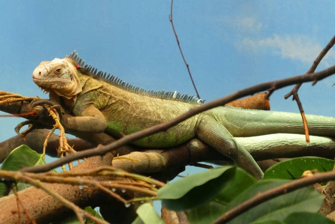 Iguana facts - are iguanas aggressive? 2