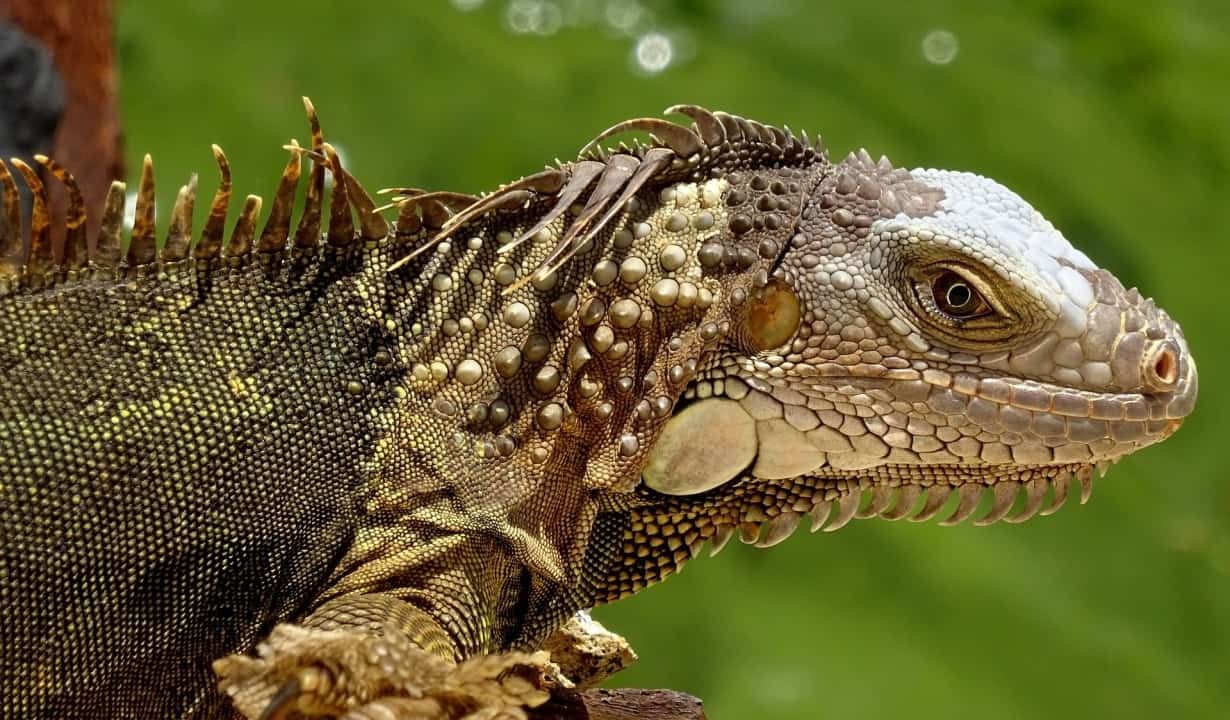 Iguana facts - are iguanas aggressive? 6