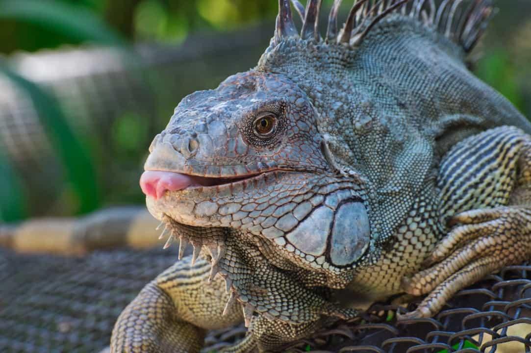Iguana facts - are iguanas aggressive? 9