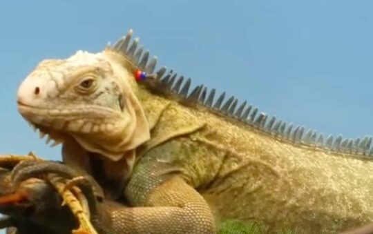 Facts that You didn't know about Iguanas