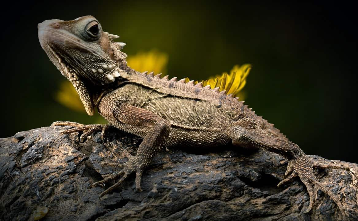 Iguana facts - are iguanas aggressive? 3
