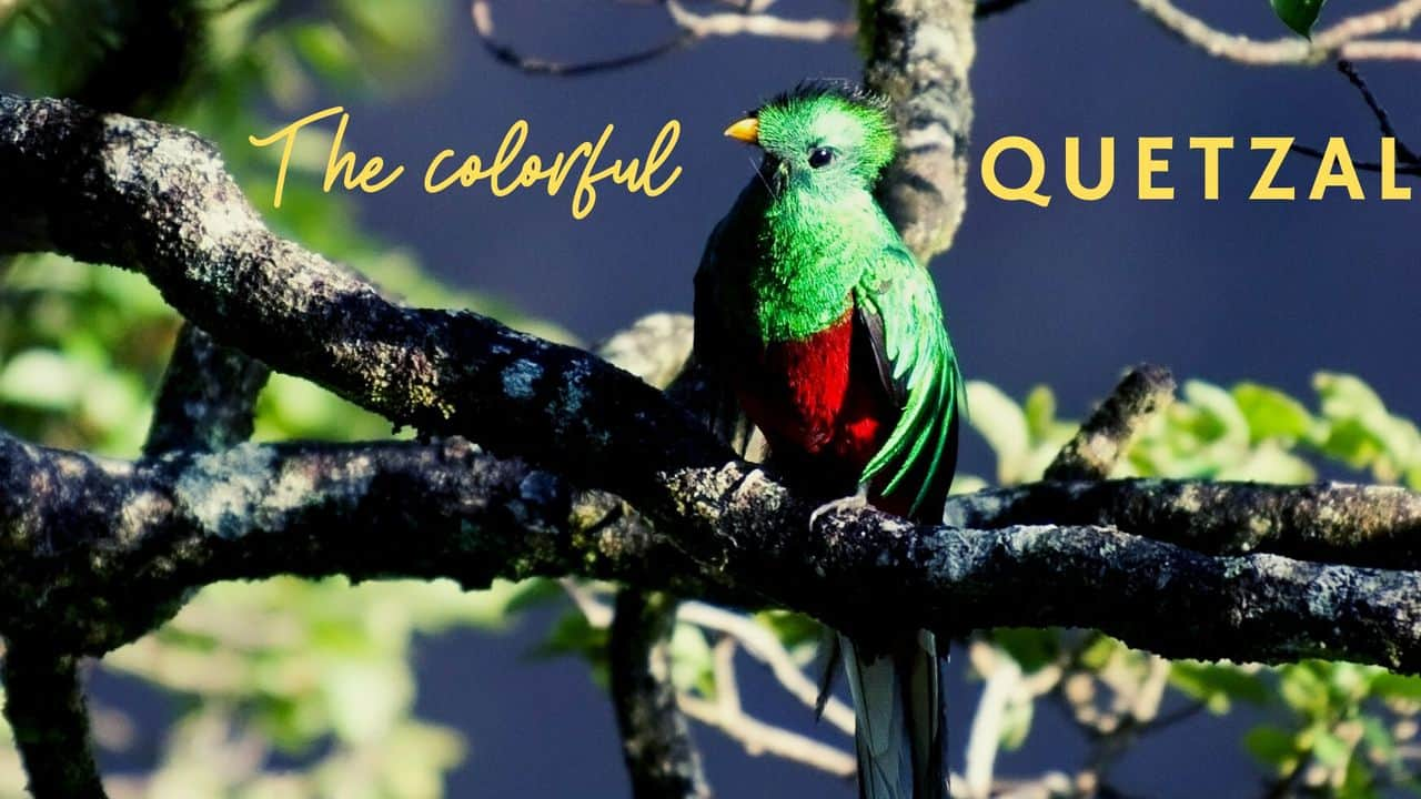 Exciting facts about Quetzal bird | Guatemala's colorful pride