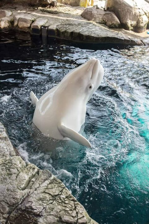 Awesome Beluga Whales facts and Information that you Must Know 1