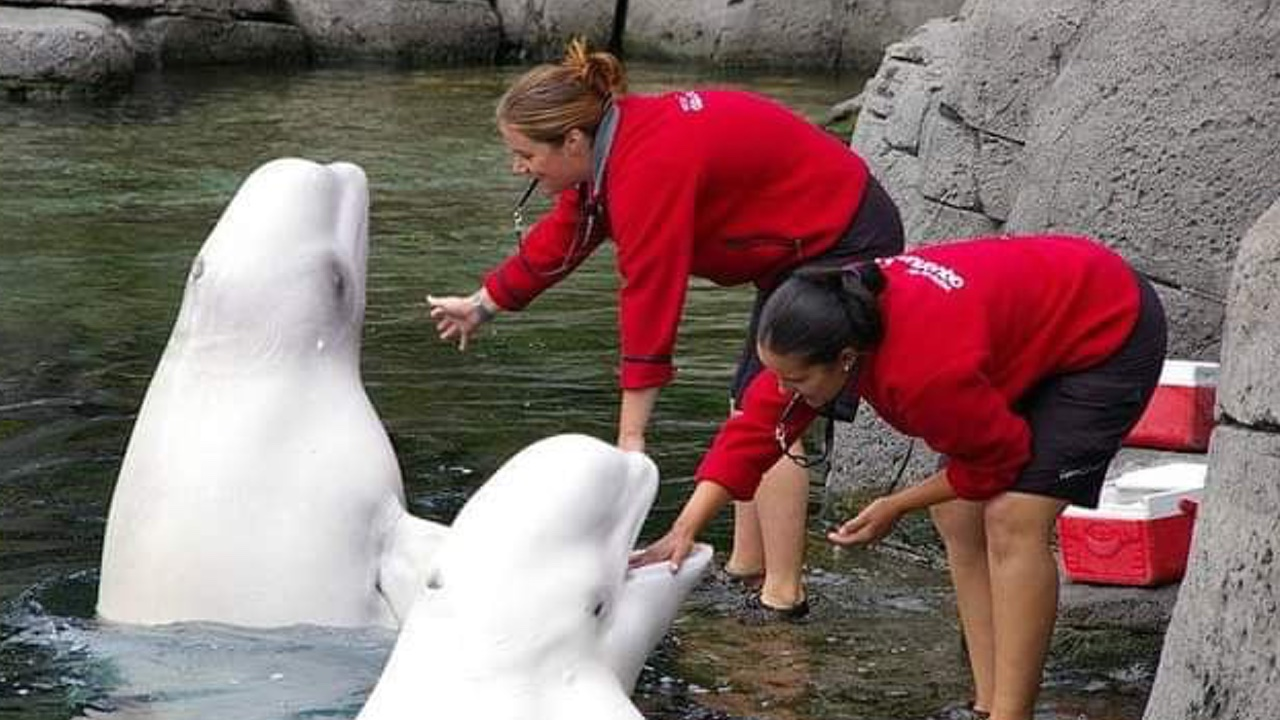 Awesome Beluga Whales facts and Information that you Must Know