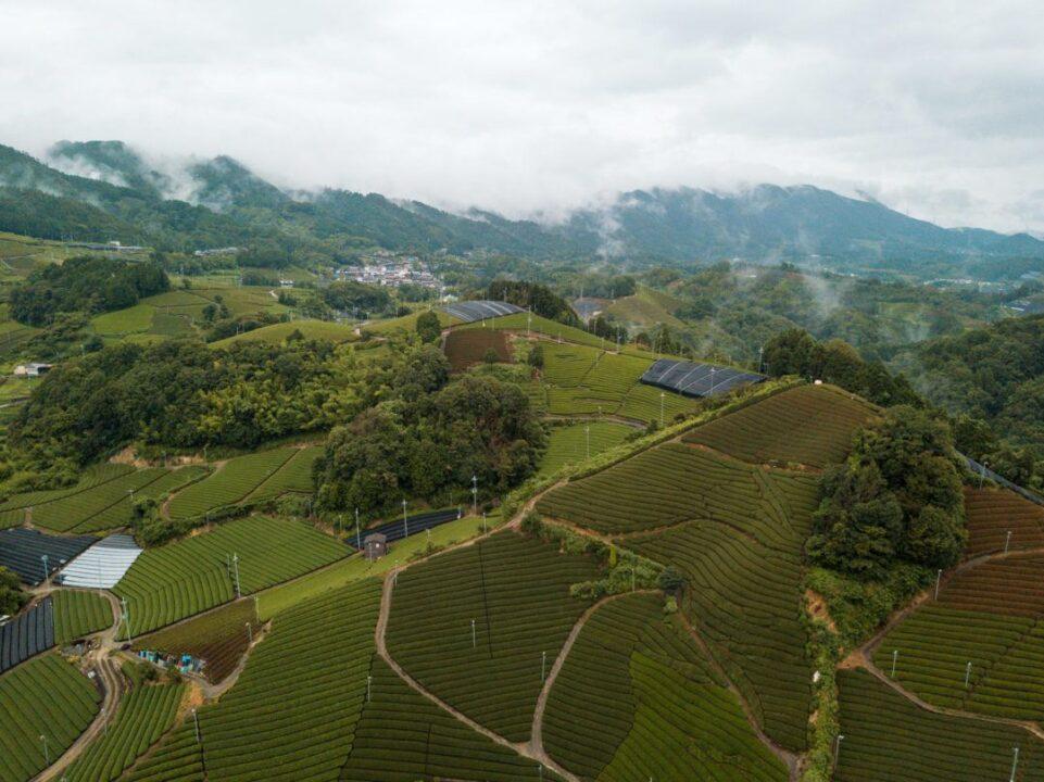 matcha plantations in Japan